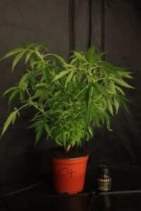 עציץ מריחואנה