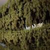 ייבוש פרחי מריחואנה