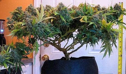 דוגמא לצמח שעבר קשירות