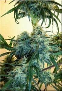 צמח מריחואנה בגידול ביתי