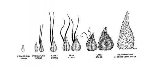 תהליך התפתחות הגביע בצמח הקנאביס