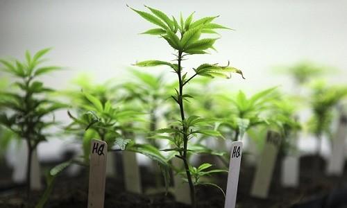 זרעים או ייחורים? איך עדיף להתחיל לגדל קנאביס