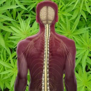 מריחואנה לטיפול בפגיעות עמוד-שדרה