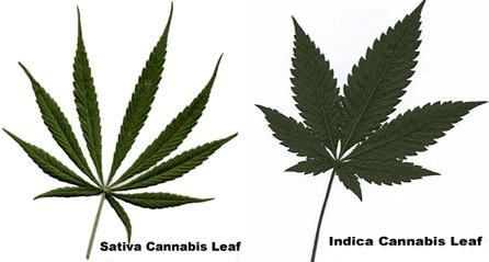 Indica Sativa - Cannabissoorten