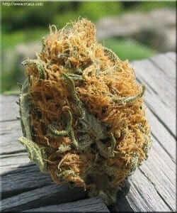 פרח מריחואנה