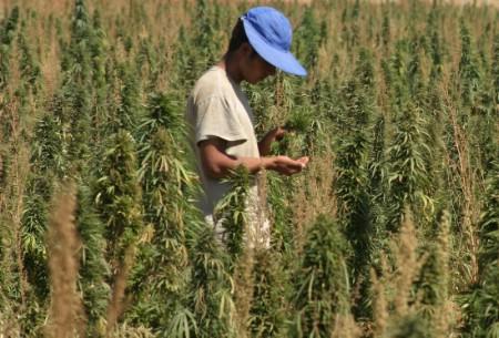חקלאי לבנוני בודק את היבול