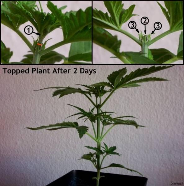 קיטום צמח מריחואנה