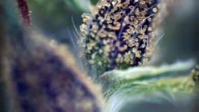 טריכומים על פרח קנאביס