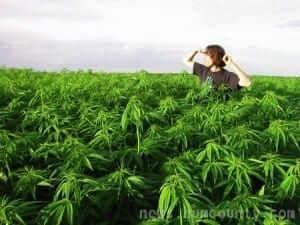 חקלאי מביט לאופק בשדה קנאביס בהומבולדט