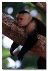 קוף קפוצ'ין מסטול