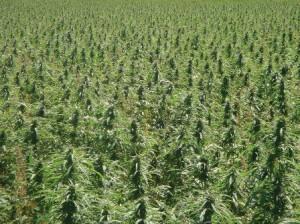 שדה מריחואנה
