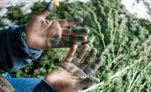 ידיים אחרי הכנת חשיש
