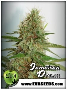 Jamaican Drean - Eva Seeds