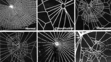 Photo of עכבישים על סמים: קורי עכביש תחת השפעה