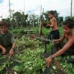 ילדים בשדות הקוקאין בדרום אמריקה