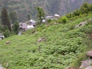 מיקום הצמח על צלע הר ימנע ניקוז יתר של מים