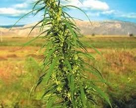 צמח מריחואנה גדל בחוץ