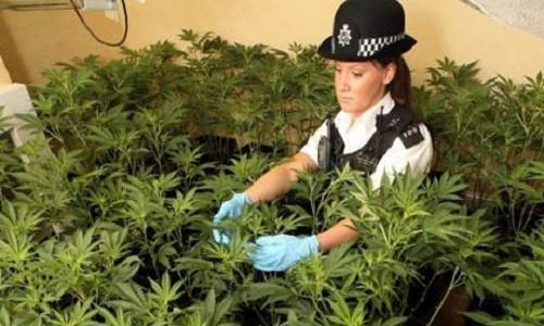 שוטרת בריטית במהלך פשיטה על בית גידול מריחואנה