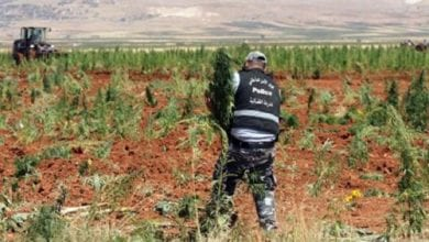 Photo of מגדלי המריחואנה בלבנון מתכוננים לקציר השנתי