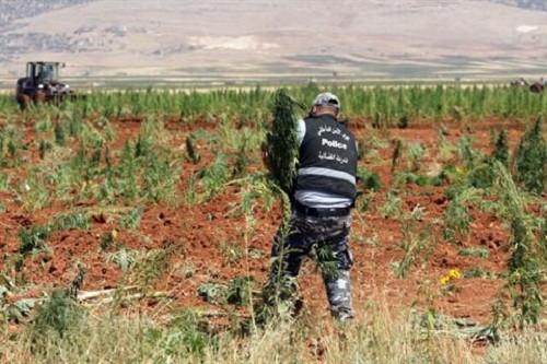 כוחות משטרה עוקרים שתילי מריחואנה בלבנון