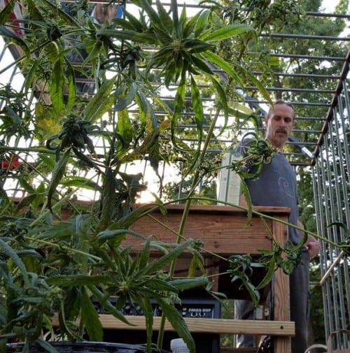 צמחי המפ מול הבית הלבן