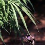 יונק הדבש וקנאביס - תמונות