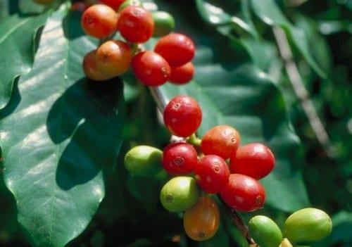 צמחי קפה ערביקה