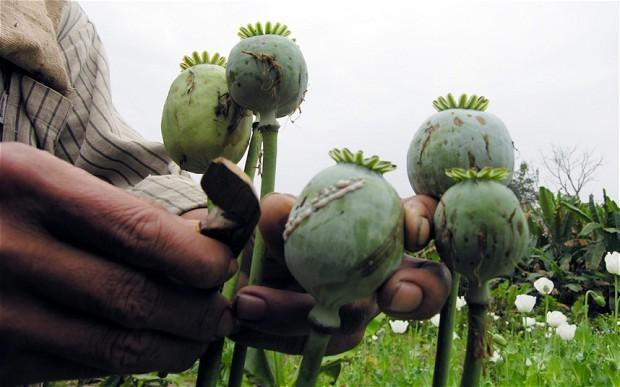 גידולי אופיום במיאנמר (בורמה)