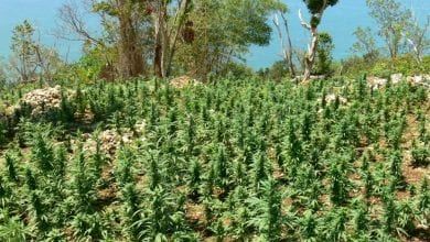 שדה מריחואנה בקיבוץ גינוסר