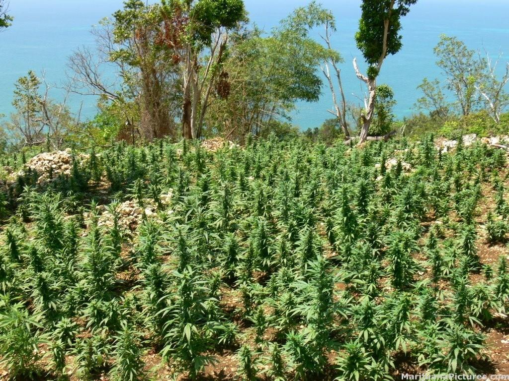 A field of marijuana at Kibbutz Ginosar