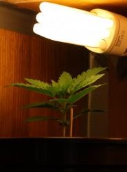 מנורה לגידול קנאביס בבית