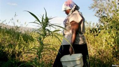 שדות מריחואנה בליבריה