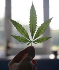 Opgeheven marihuana