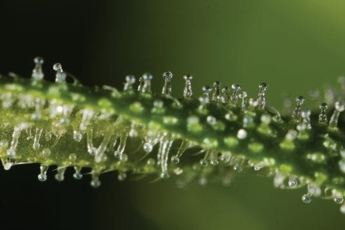 A closer look at the cannabis resin