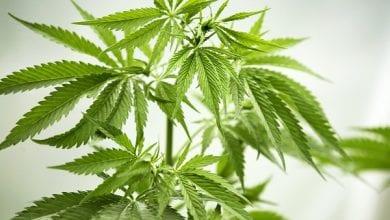 Photo of קנדה: מטופלי קנאביס ברשיון לא יורשו לגדל מריחואנה בביתם