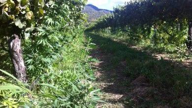 Photo of אוסטרליה: שדה מריחואנה הוסתר בתוך מטע גפנים