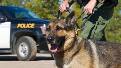 Photo of אילוף מחדש: כלבי גישוש בוושינגטון יאומנו להתעלם מריח של קנאביס