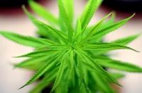 צמח מריחואנה