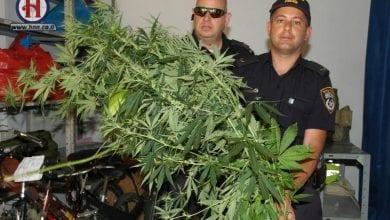 Photo of שתילי מריחואנה נתפסו בבוסתן הגליל