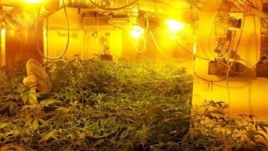 Photo of מאות שתילי מריחואנה נתפסו בדירה ביהוד