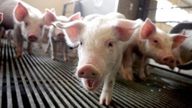 """Photo of ארה""""ב: נתן לחזירים לאכול קנאביס כדי להשביח את בשרם – הלקוחות מרוצים"""