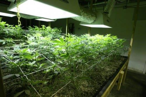 גידול מריחואנה בעזרת רשת - SCROG