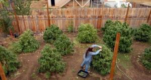 גידול מריחואנה בחצר האחורית - 12 טיפים לגידול בטוח ופורה