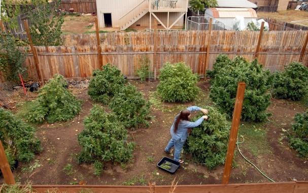 גידול מריחואנה בחצר האחורית – 12 טיפים לגידול פורה ובטוח