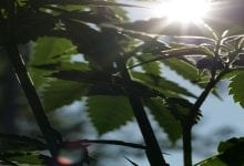 גידול מריחואנה בקיץ
