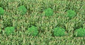 גידולי מריחואנה בשדות תירס