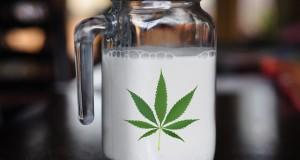 חלב המפ קנבוס