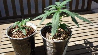 צמחי מריחואנה