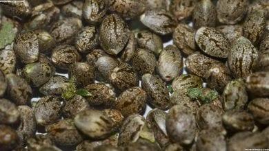 אחסון זרעים: שלושה דברים שזרעים של מריחואנה אוהבים