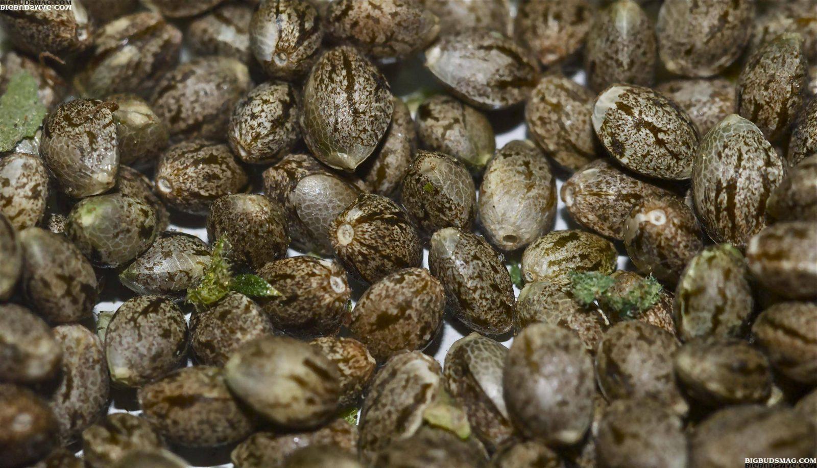 אחסון זרעים: שלושה דברים שזרעי קנאביס מאוד אוהבים